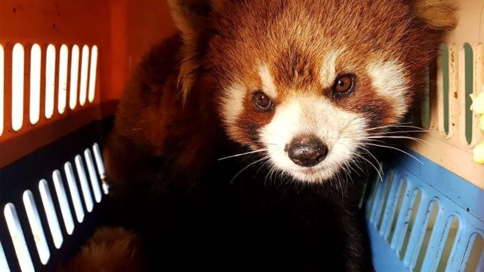 Ce panda roux et 5 autres ont été sauvés au Laos le 13 janvier dernier, dans ...