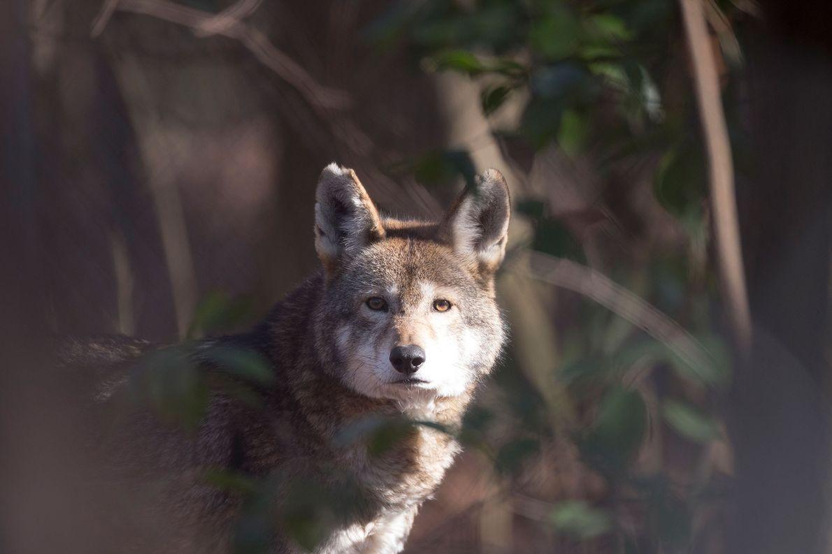 Les loups rouges vont-ils bientôt disparaître ?
