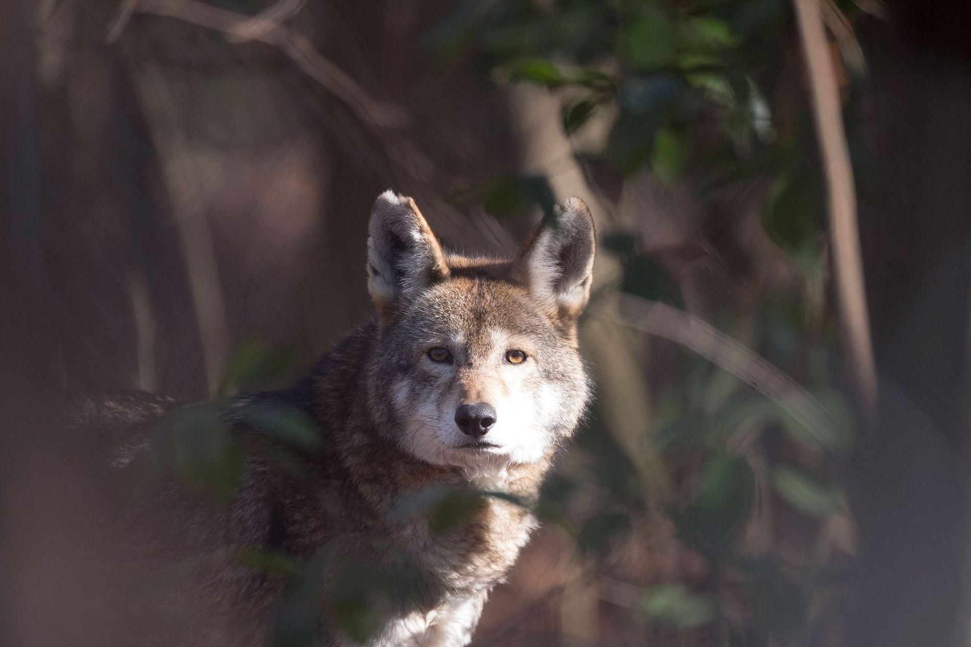 Il ne reste plus que 35 loups rouges à l'état sauvage dans le monde.