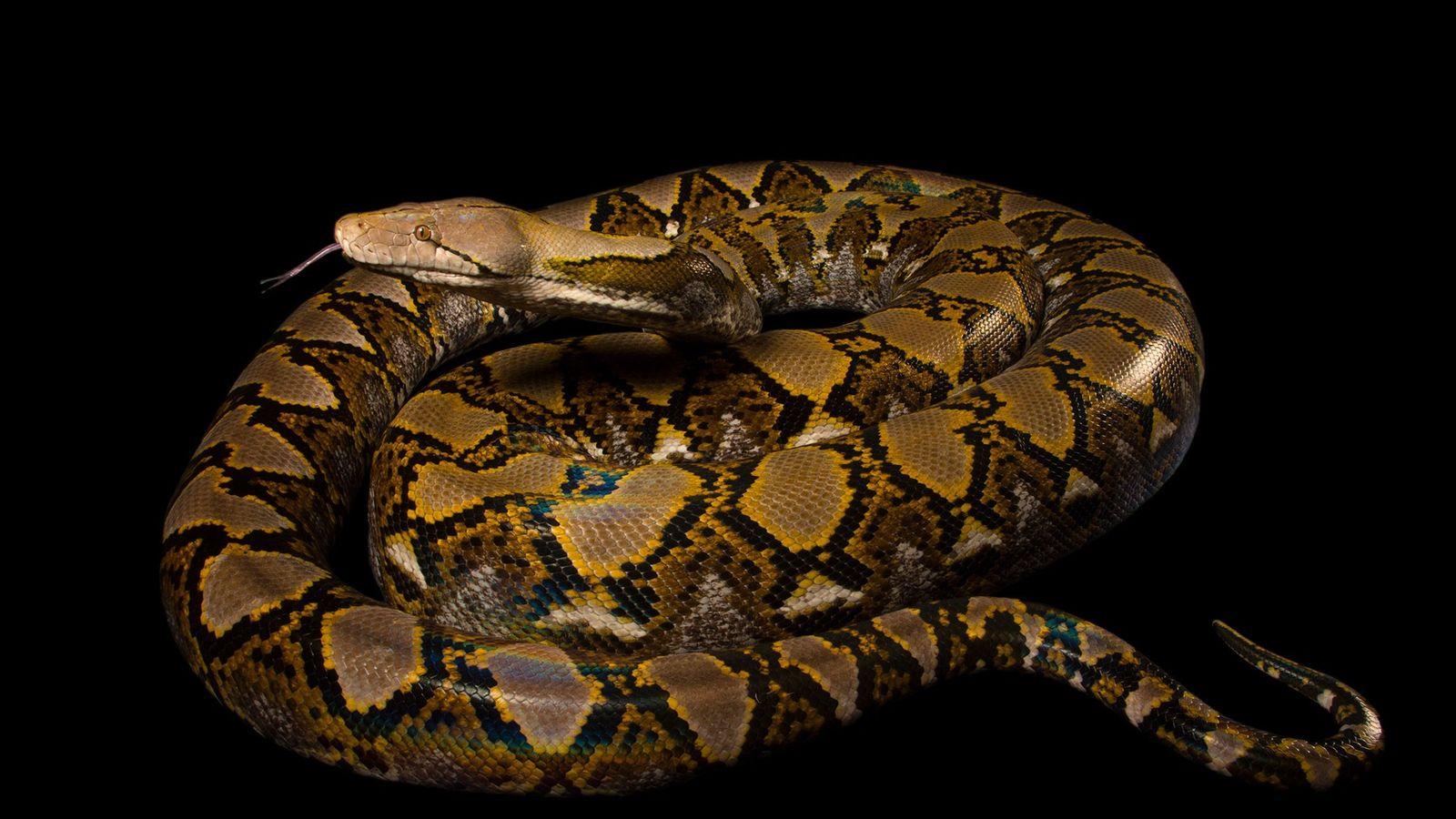 Un python réticulé, de son nom latin Broghammerus reticulatus, photographié au zoo de Naples.