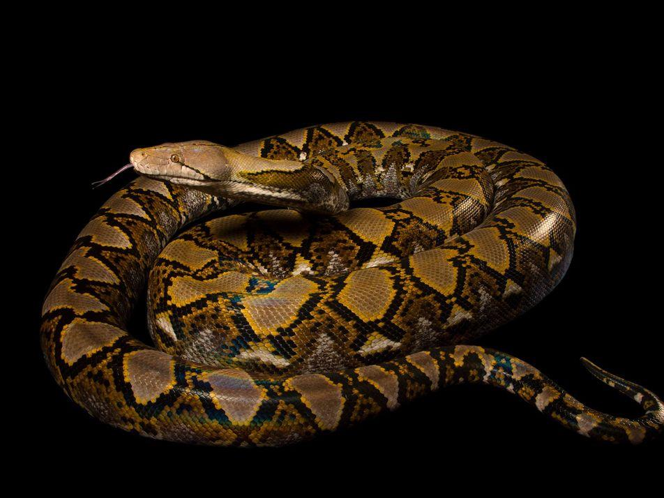 En Indonésie, une femme a été avalée par un python