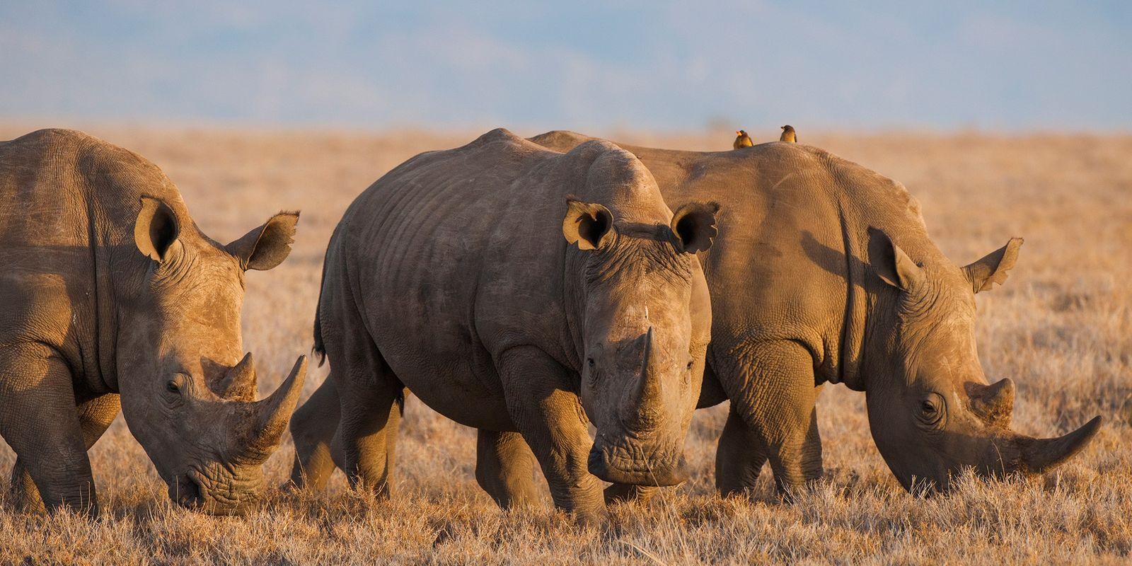 La Chine légalise le commerce de cornes de rhinocéros et d'os de tigre à des fins ...