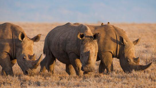 Selon les experts, l'utilisation de corne de rhinocéros et d'os de tigre en médecine traditionnelle chinoise ...