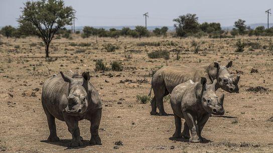 01-rhino-horn-trade-south-africa