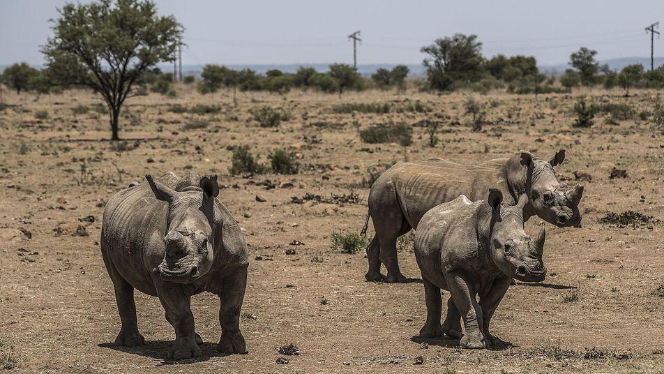 Le commerce de cornes de rhinocéros à nouveau légal en Afrique du Sud