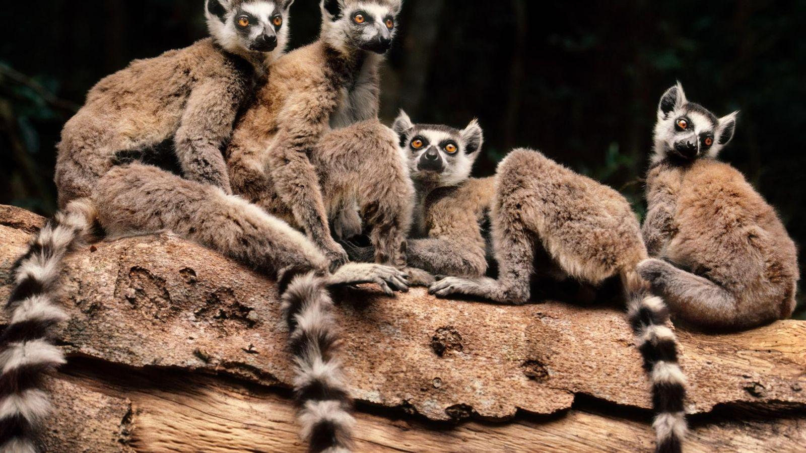 Les lémuriens de Madagascar utilisent une série de bruits pour communiquer dans la jungle.