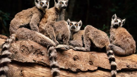 Les mococos de Madagascar ont recours à toute une série de sons afin de communiquer dans ...