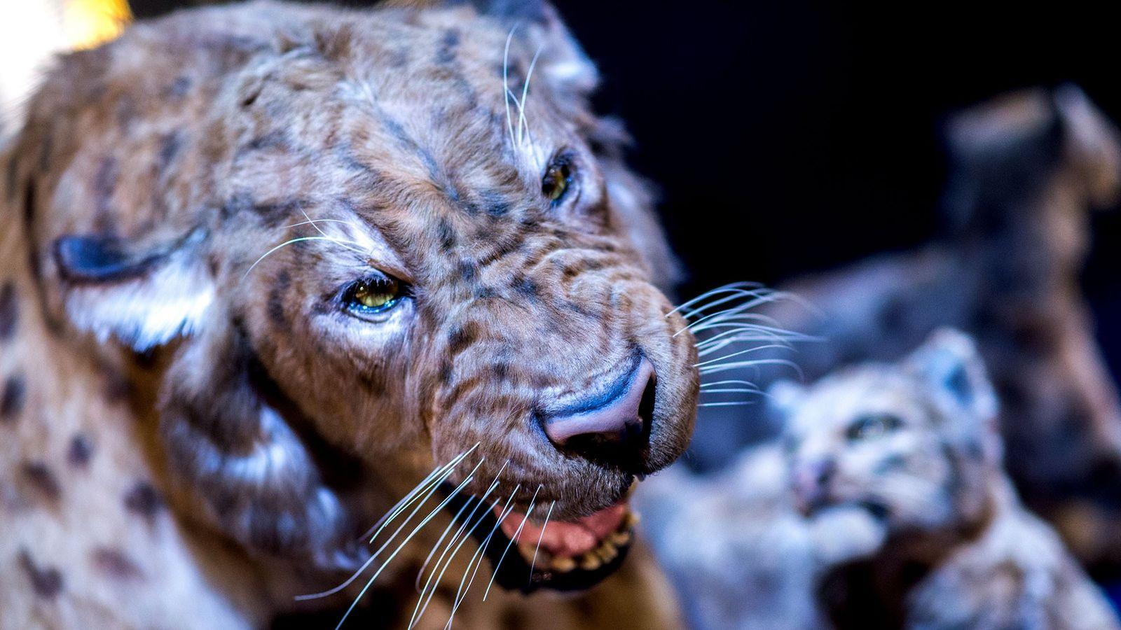 Une reproduction d'un tigre à dents de sabre, exposée en Allemagne.