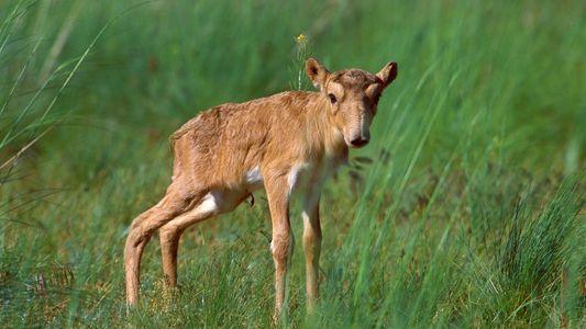 Le baby boom des antilopes saïgas, un espoir pour sauver l'espèce