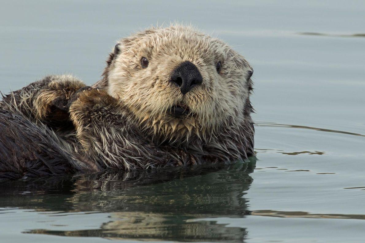 Une loutre de mer trouve refuge dans le petit havre de Homer, en Alaska.