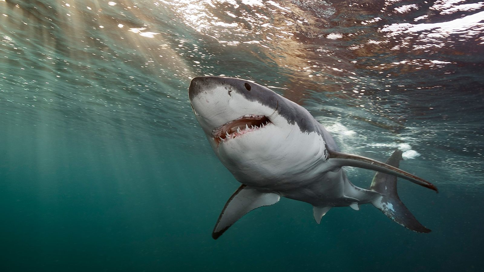 Un grand requin blanc nage dans les eaux des îles Neptune.