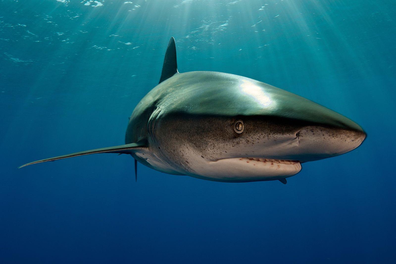 Première preuve d'un affrontement entre un requin et un calamar géant