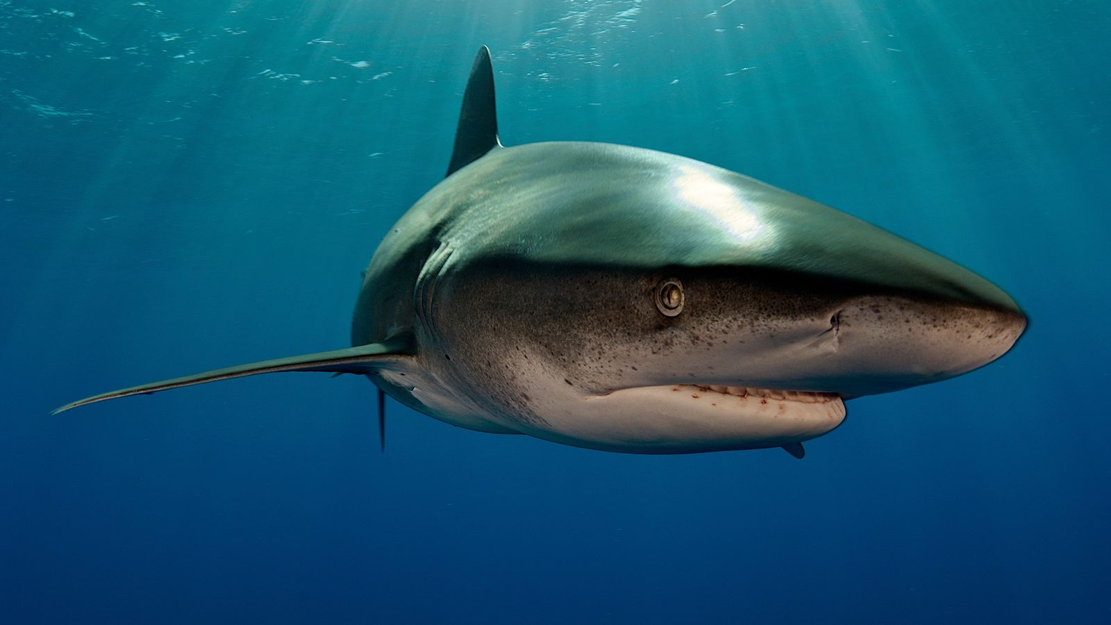Un requin longimane nage au large des Bahamas. Ces requins chassent généralement en surface, ce qui ...