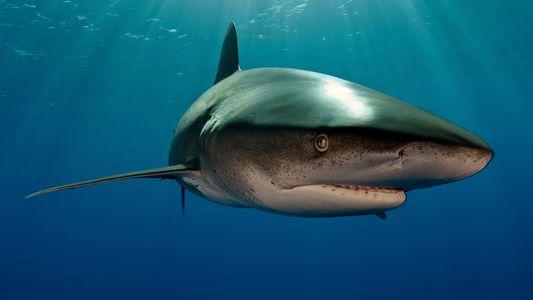 29 images saisissantes de requins, magnifiques prédateurs des océans