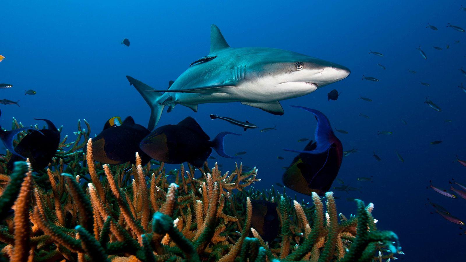 Les requins gris de récif, ci-dessus un spécimen de Kimbe Bay en Papouasie-Nouvelle-Guinée, font partie de ...