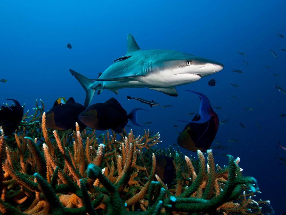 Les populations de requins de récifs déclinent partout dans le monde