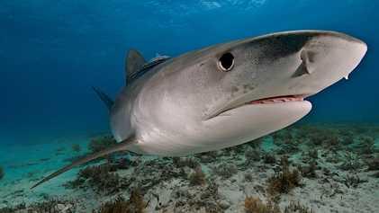Insolite : les requins-tigres se nourrissent régulièrement d'oiseaux