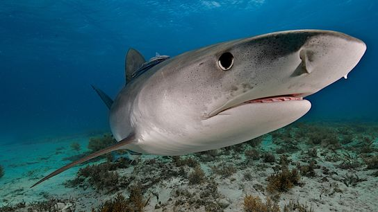 Un requin-tigre nage au large des Bahamas. Ces prédateurs sont des charognards avertis et disposent d'une ...