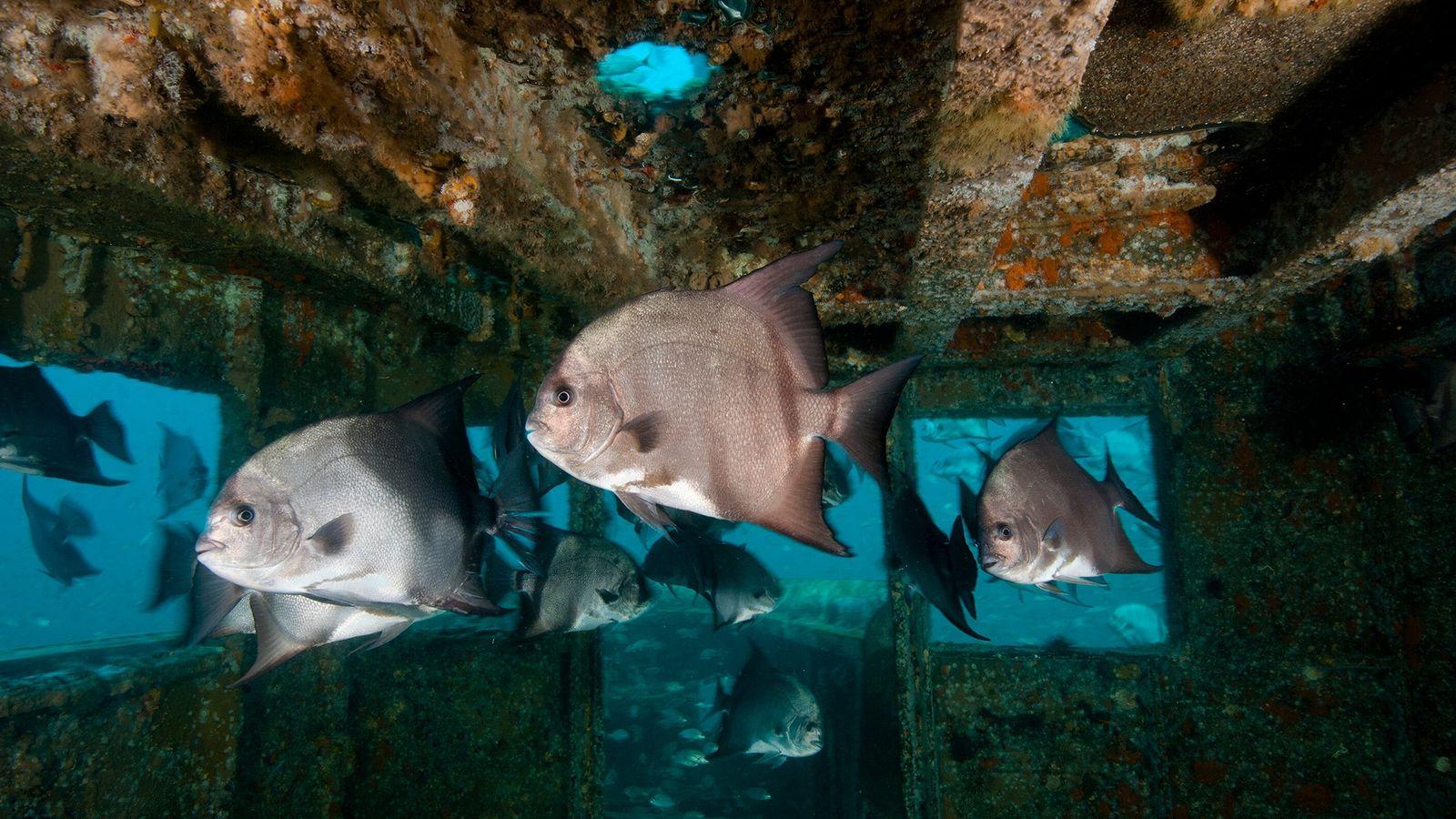 Une épave au large de la Caroline du Nord est peuplée par une troupe de poissons-appâts ...