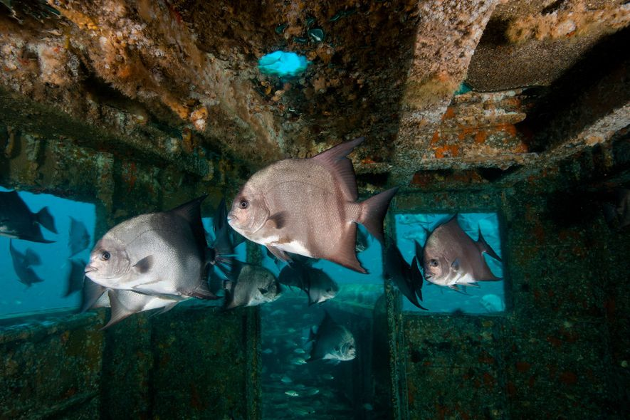 Les épaves sont devenues le refuge des poissons tropicaux