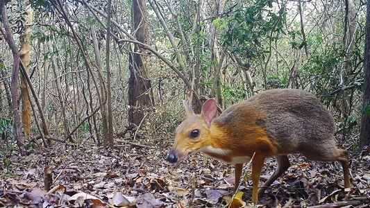On croyait l'espèce disparue, le cerf-souris était seulement caché