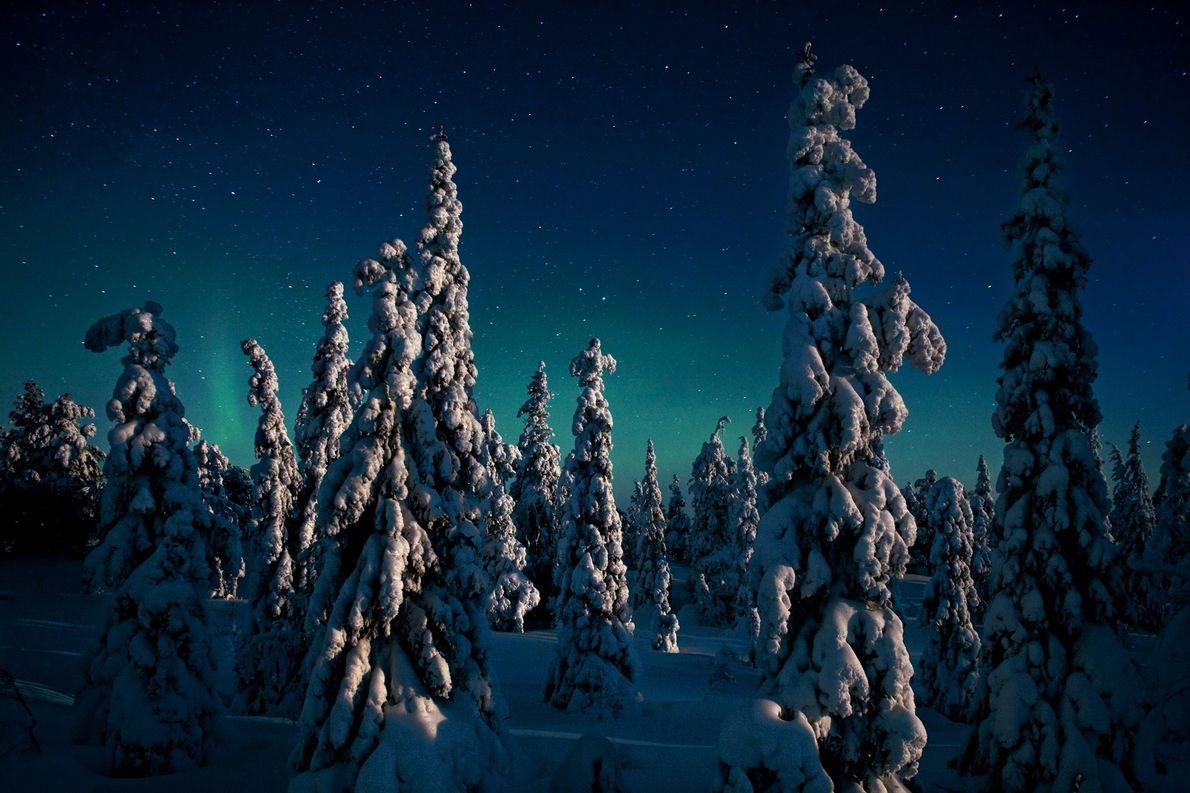Des épicéas givrés se découpent sur un ciel d'aurores boréales, scintillant au-dessus de l'un des plus ...