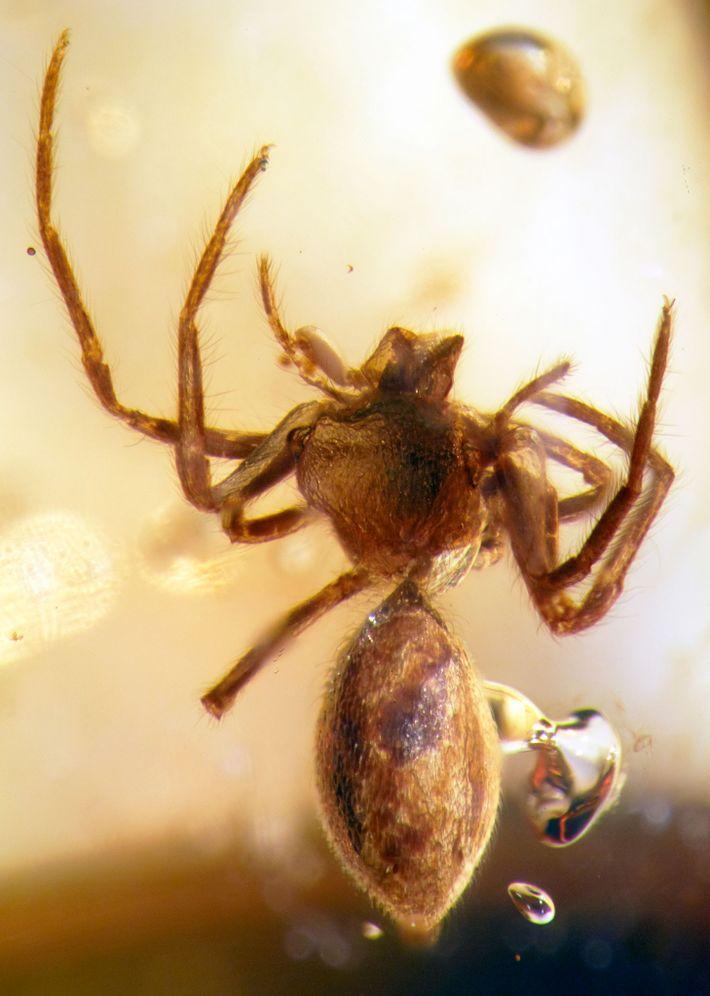 Avant cette étude, tous les fossiles connus de lagonomégopides, un groupe d'araignées aujourd'hui éteint, avaient été ...