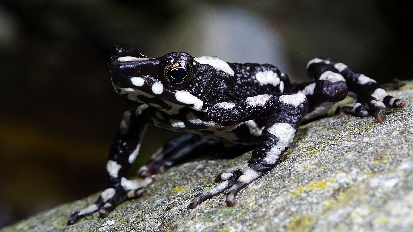 Son nom anglais, la « grenouille arlequin nuit étoilée » (Atelopus aryescue) le doit au ciel ...