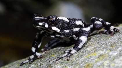 On la pensait éteinte depuis 30 ans, la grenouille arlequin nuit étoilée signe son grand retour