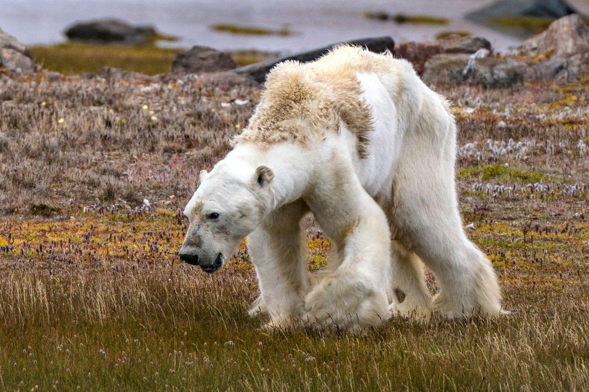 Les faibles muscles de cet ours polaire, atrophiés par la faim, le tiennent à peine debout.