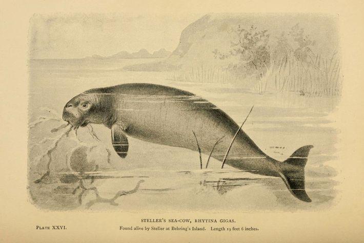 Ce dessin représente le lamantin aujourd'hui disparu, découvert par Steller.