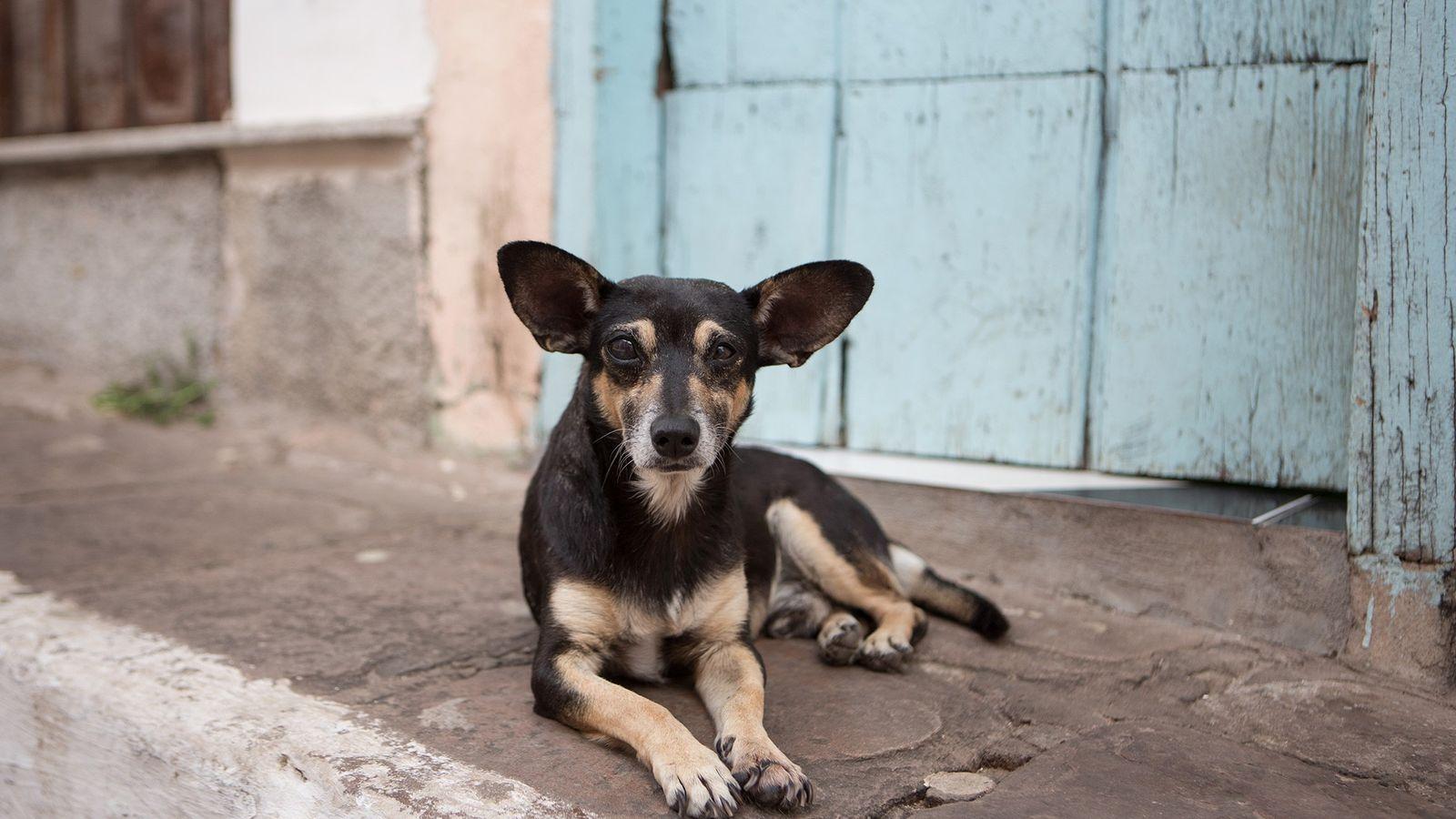 Un chien errant se repose au Brésil dans le parc national de la Chapada Diamantina. Ils ...