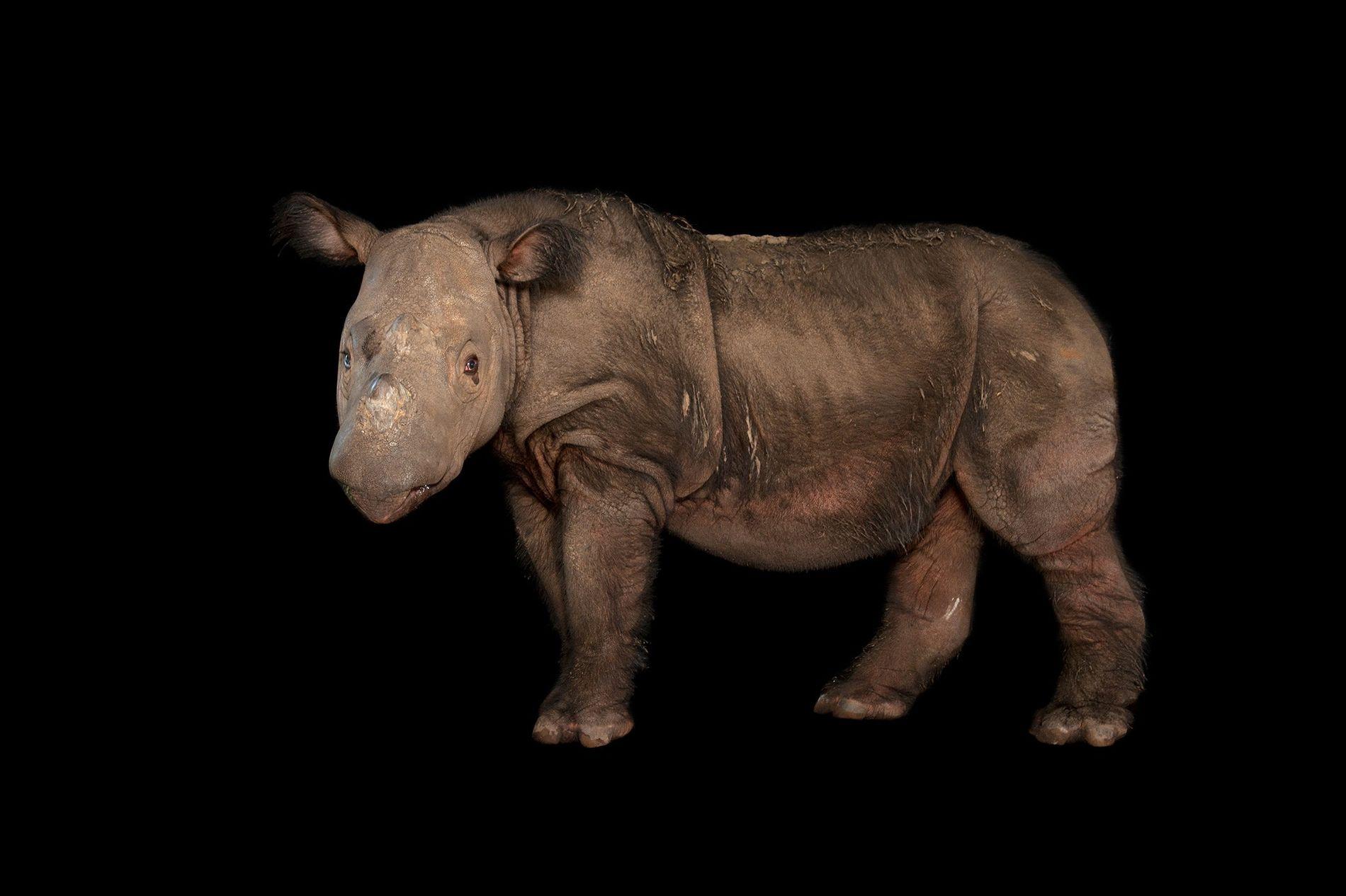 Un rhinocéros mâle du nom de Harapan pose au White Oak Conservation Center de Floride où ...