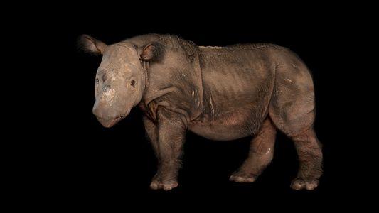 Malaisie : le dernier rhinocéros de Sumatra est mort