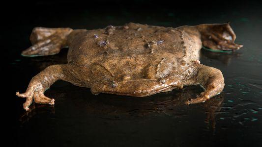 Cette grenouille met bas par le dos (et autres naissances insolites)
