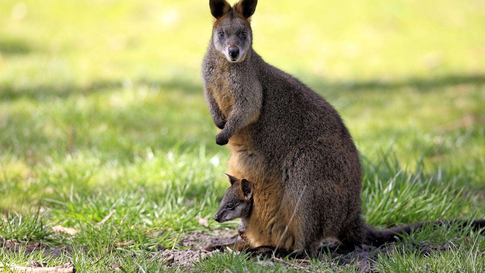 Les femelles wallabys bicolores commencent généralement une nouvelle gestation deux jours avant de mettre bas.