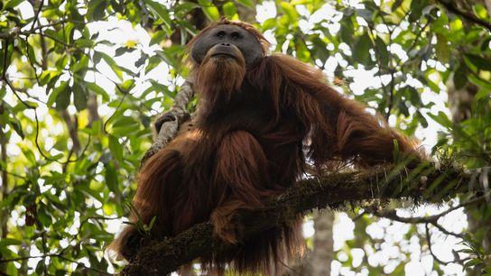 Un mâle adulte Tapanuli dans la forest de Batang Toru.