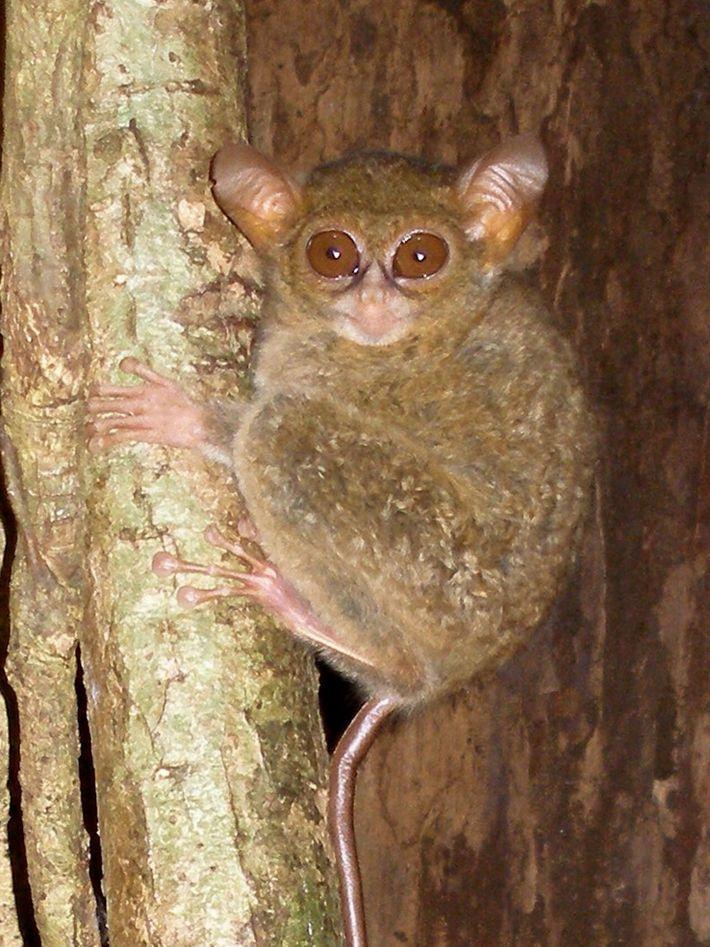 01-tarsier-star-wars
