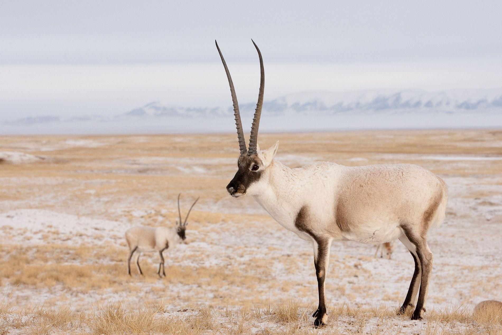 L'antilope du Tibet est victime de braconnage pour la confection d'étoffes luxueuses, appelées « shahtoosh », ...