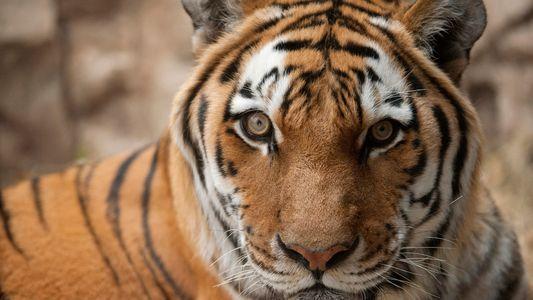 Grands félins : ce qui n'est pas dit pas dans Tiger King