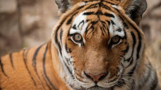 Espèce en danger d'extinction, ce tigre de Sibérie a été photographié au zoo Henry Doorly à ...