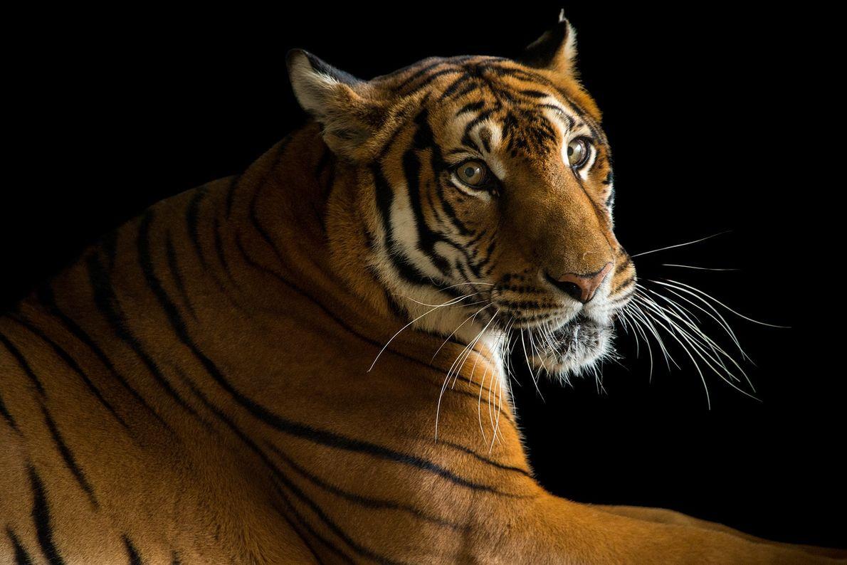 Ce tigre de Chine méridionale appartient à une espèce en danger critique d'extinction. Ce spécimen vit ...