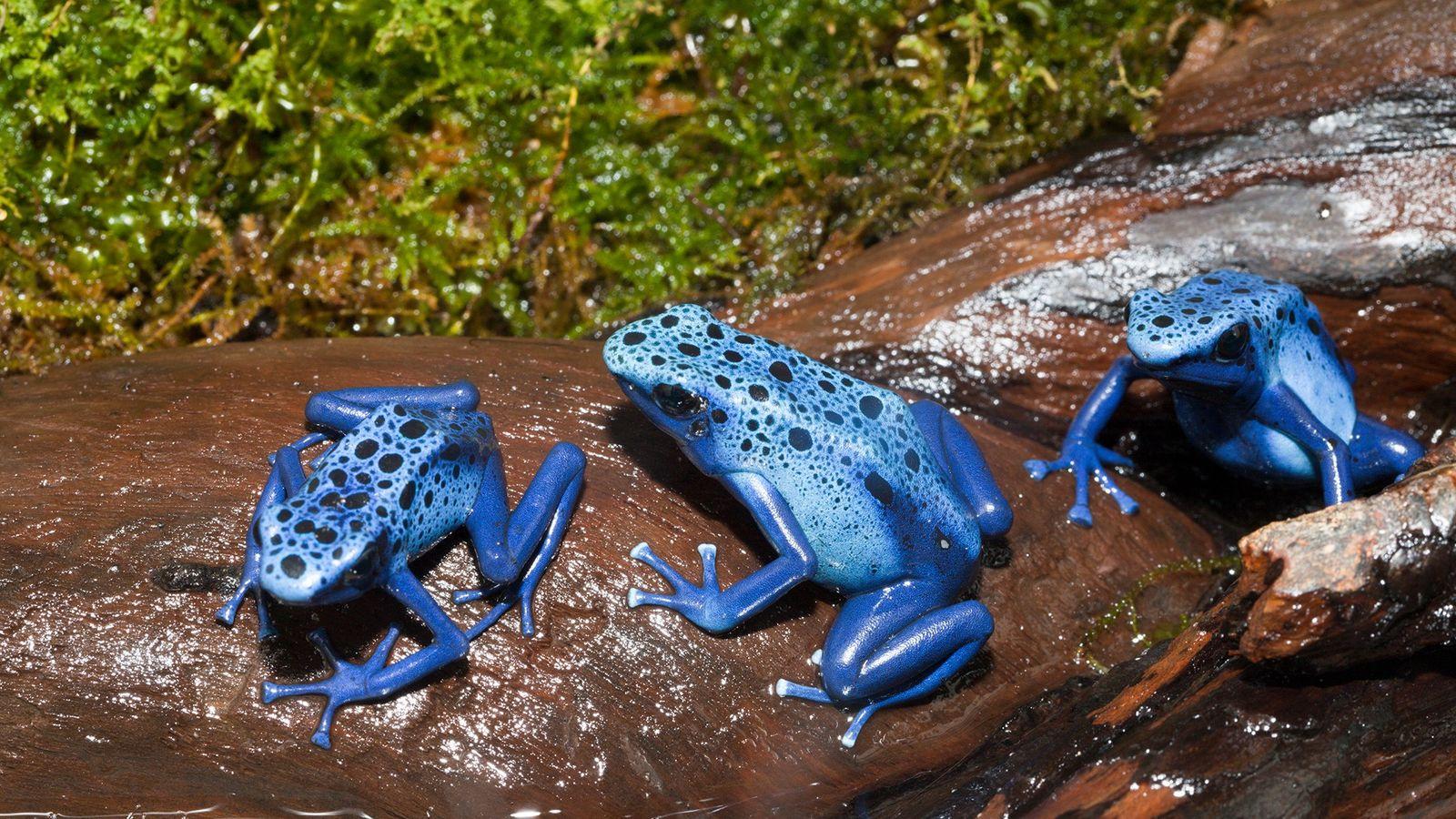 Des grenouilles bleues venimeuses de l'espèce Dendrobates tinctorius azureus.