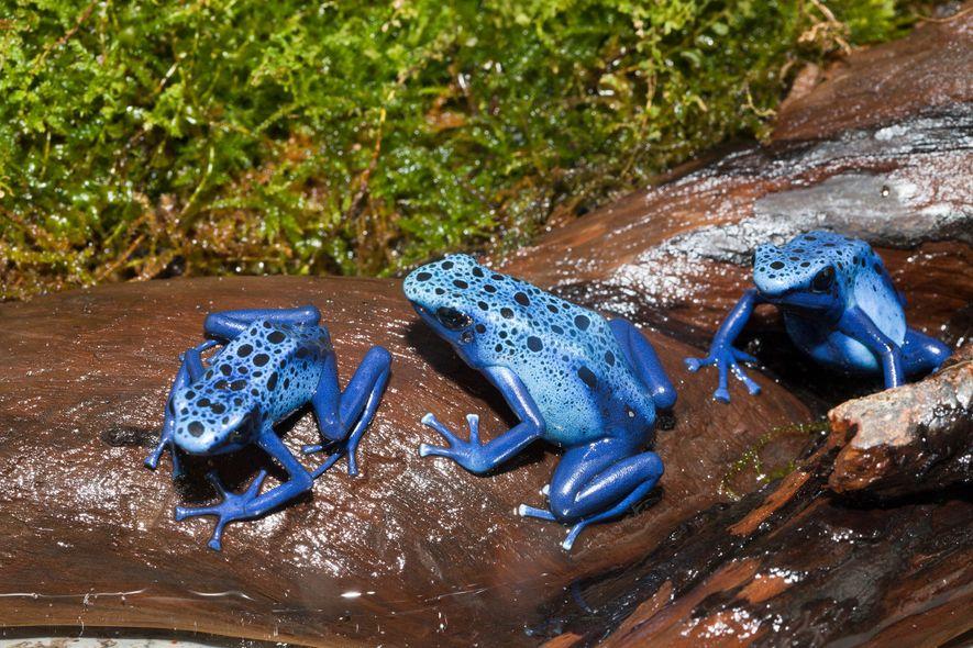 Comment font les grenouilles venimeuses pour ne pas s'empoisonner ?