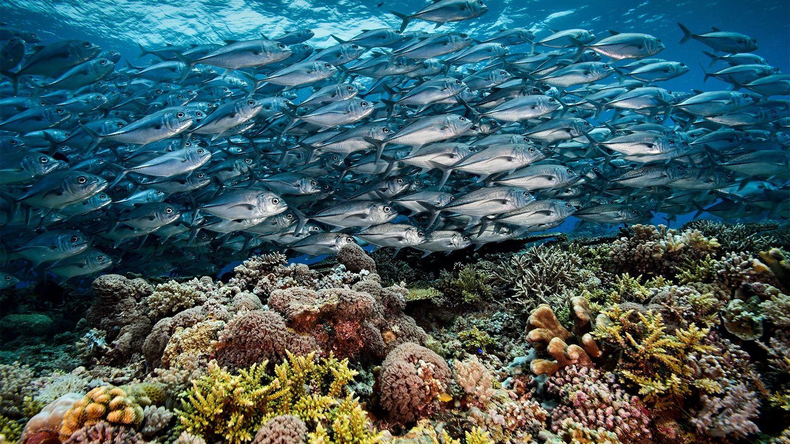 Dans l'atoll de South Reef du récif de Tubbataha, un banc de madeleineaux vogue au-dessus d'une ...