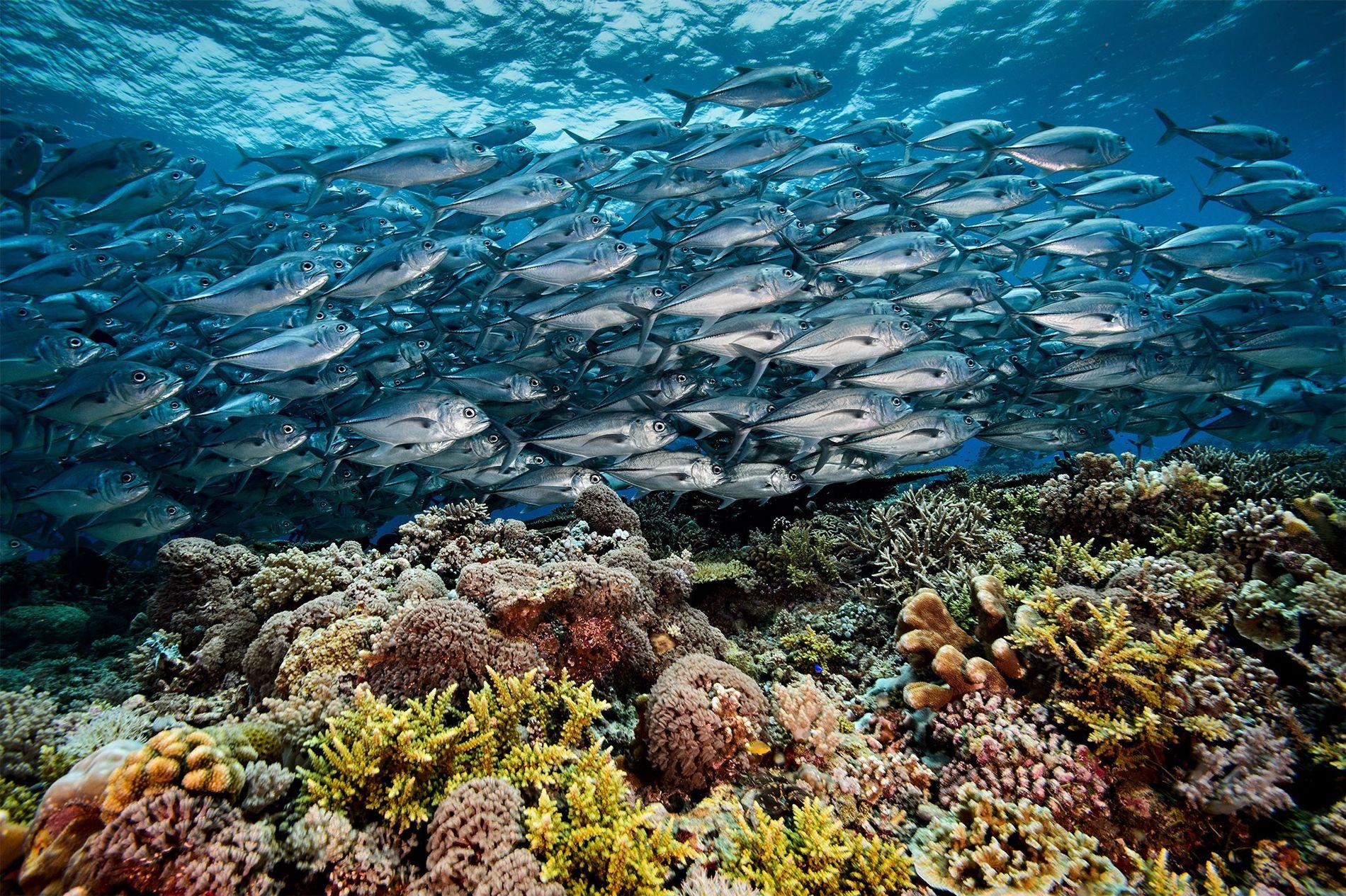Dans l'atoll de South Reef du récif de Tubbataha, un banc de madeleineaux vogue au-dessus d'une prairie de coraux, formant une rivière argentée.