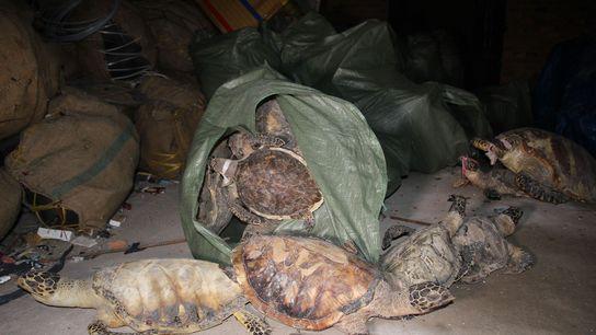 Fin 2014, les autorités avaient découvert des milliers de tortues imbriquées dans des entrepôts situés à ...