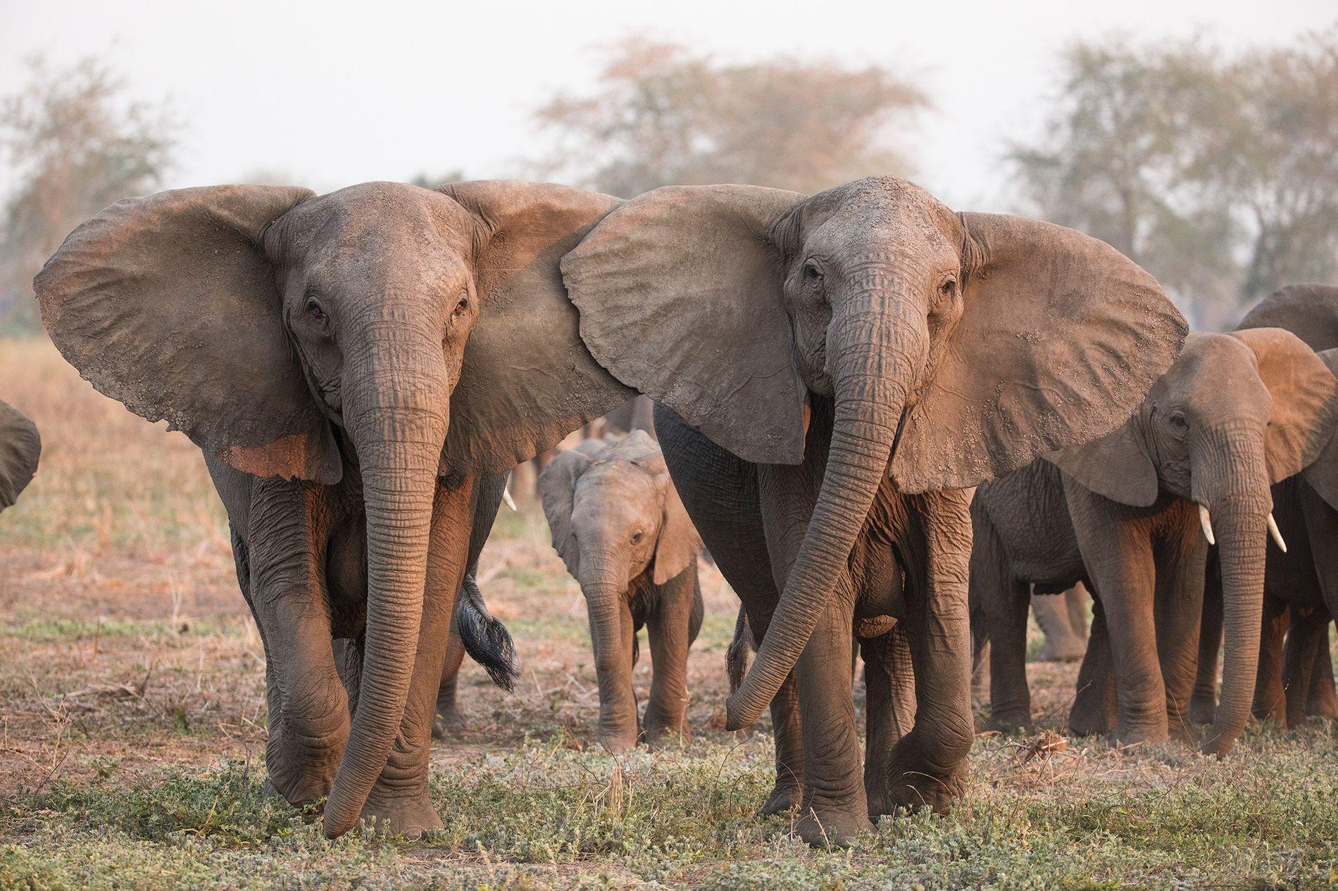 En réaction au braconnage, de plus en plus d'éléphants naissent sans défenses