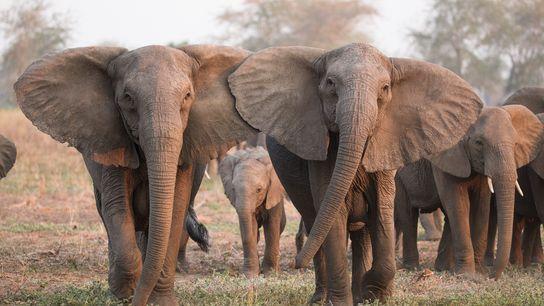 Les éléphants qui présentaient un trait génétique rare, caractérisé par une absence de défenses, ont eu ...
