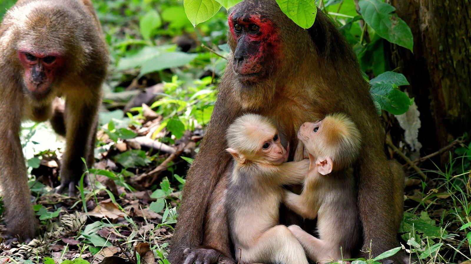 La macaque à face rouge, connue sous le nom de TNG-F19, tient ses jumeaux dans ses ...